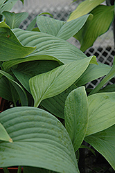 T-Rex Hosta (Hosta 'T-Rex') at Vandermeer Nursery