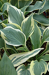 Chantilly Lace Hosta (Hosta 'Chantilly Lace') at Vandermeer Nursery