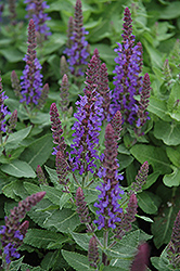 Sensation Deep Blue Sage (Salvia nemorosa 'Sensation Deep Blue') at Vandermeer Nursery