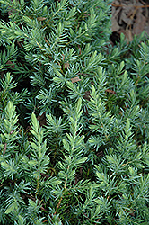 Blue Pacific Shore Juniper (Juniperus conferta 'Blue Pacific') at Vandermeer Nursery