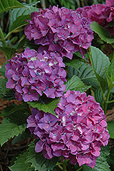 Princess Beatrix Hydrangea (Hydrangea macrophylla 'Princess Beatrix') at Vandermeer Nursery