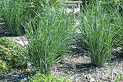 Cloud Nine Switch Grass (Panicum virgatum 'Cloud Nine') at Vandermeer Nursery
