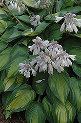 June Hosta (Hosta 'June') at Vandermeer Nursery
