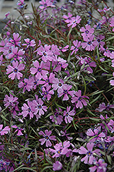 Purple Beauty Moss Phlox (Phlox subulata 'Purple Beauty') at Vandermeer Nursery
