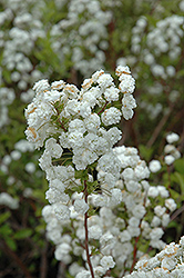 Bridalwreath Spirea (Spiraea prunifolia) at Vandermeer Nursery