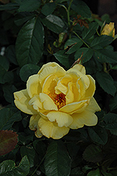 Lemon Meringue Rose (Rosa 'Lemon Meringue') at Vandermeer Nursery