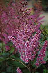 Maggie Daley Astilbe (Astilbe chinensis 'Maggie Daley') at Vandermeer Nursery