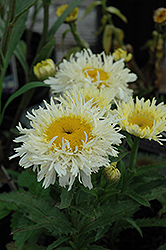 Gold Rush Shasta Daisy (Leucanthemum x superbum 'Gold Rush') at Vandermeer Nursery
