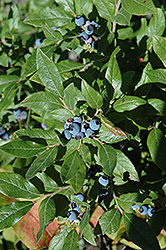 Lowbush Blueberry (Vaccinium angustifolium) at Vandermeer Nursery