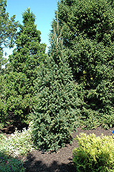 Columnar Norway Spruce (Picea abies 'Cupressina') at Vandermeer Nursery