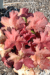 Cherry Cola Coral Bells (Heuchera 'Cherry Cola') at Vandermeer Nursery