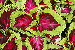 Kong Rose Coleus (Solenostemon scutellarioides 'Kong Rose') at Vandermeer Nursery