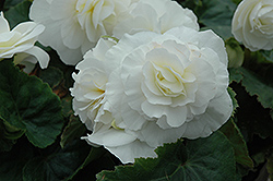 Nonstop® White Begonia (Begonia 'Nonstop White') at Vandermeer Nursery