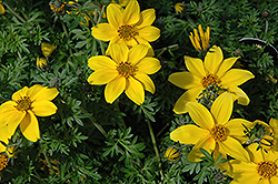 Yellow Charm Bidens (Bidens ferulifolia 'Yellow Charm') at Vandermeer Nursery