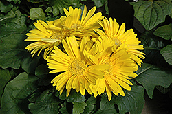 Yellow Gerbera Daisy (Gerbera 'Yellow') at Vandermeer Nursery