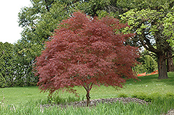 Dwarf Red Pygmy Japanese Maple (Acer palmatum 'Red Pygmy') at Vandermeer Nursery