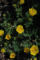Woolly Cinquefoil (Potentilla megalantha) at Vandermeer Nursery