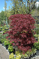 Red Dragon Japanese Maple (Acer palmatum 'Red Dragon') at Vandermeer Nursery