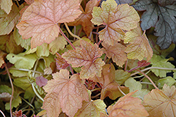 Redstone Falls Foamy Bells (Heucherella 'Redstone Falls') at Vandermeer Nursery