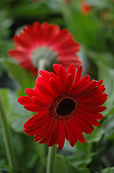 Red Gerbera Daisy (Gerbera 'Red') at Vandermeer Nursery