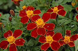 Disco Red Marigold (Tagetes patula 'Disco Red') at Vandermeer Nursery