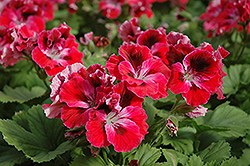 Elegance™ Red Velvet Geranium (Pelargonium 'Elegance Red Velvet') at Vandermeer Nursery