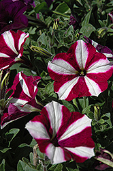 Easy Wave Burgundy Star Petunia (Petunia 'Easy Wave Burgundy Star') at Vandermeer Nursery