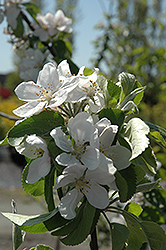 Cortland Apple (Malus 'Cortland') at Vandermeer Nursery