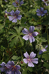 Brookside Cranesbill (Geranium 'Brookside') at Vandermeer Nursery