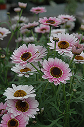 Reflection Pink Marguerite Daisy (Argyranthemum frutescens 'Reflection Pink') at Vandermeer Nursery
