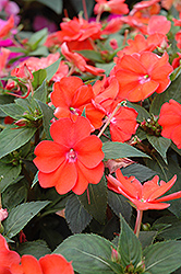 SunPatiens® Vigorous Orange New Guinea Impatiens (Impatiens 'SunPatiens Vigorous Orange') at Vandermeer Nursery