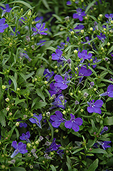 Riviera Midnight Blue Lobelia (Lobelia erinus 'Riviera Midnight Blue') at Vandermeer Nursery