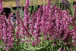 Pink Friesland Sage (Salvia nemorosa 'Pink Friesland') at Vandermeer Nursery