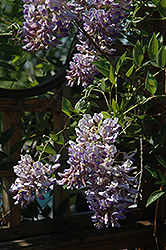 Summer Cascade™ Wisteria (Wisteria macrostachya 'Betty Matthews') at Vandermeer Nursery