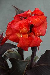 Tropical Bronze Scarlet Canna (Canna 'Tropical Bronze Scarlet') at Vandermeer Nursery