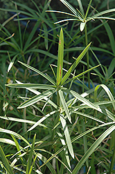 Miniature Umbrella Plant, Wild Spike (Cyperus alternifolius 'Gracilis') at Vandermeer Nursery