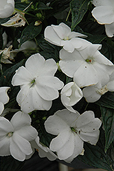 Sonic® White New Guinea Impatiens (Impatiens 'Sonic White') at Vandermeer Nursery