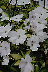 SunPatiens® Spreading Variegated White New Guinea Impatiens (Impatiens 'SunPatiens Spreading Variegated White') at Vandermeer Nursery
