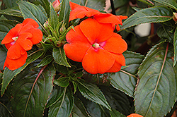 Sonic® Orange New Guinea Impatiens (Impatiens 'Sonic Orange') at Vandermeer Nursery