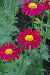 Robinson's Red Painted Daisy (Tanacetum coccineum 'Robinson's Red') at Vandermeer Nursery