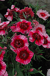 Super Parfait™ Raspberry Pinks (Dianthus 'Super Parfait Raspberry') at Vandermeer Nursery