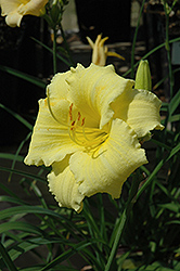 Fragrant Returns Daylily (Hemerocallis 'Fragrant Returns') at Vandermeer Nursery