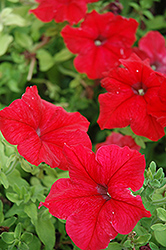 Super Cascade Red Petunia (Petunia 'Super Cascade Red') at Vandermeer Nursery