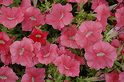 Dreams Salmon Petunia (Petunia 'Dreams Salmon') at Vandermeer Nursery