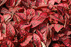 Splash Select Red Polka Dot Plant (Hypoestes phyllostachya 'Splash Select Red') at Vandermeer Nursery