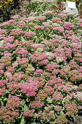 Brilliant Stonecrop (Sedum spectabile 'Brilliant') at Vandermeer Nursery