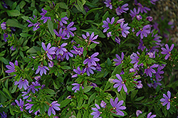 Bombay® Dark Blue Fan Flower (Scaevola aemula 'Bombay Dark Blue') at Vandermeer Nursery