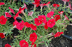 Shock Wave Red Petunia (Petunia 'Shock Wave Red') at Vandermeer Nursery