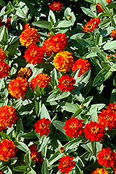 Profusion Double Fire Zinnia (Zinnia 'Profusion Double Fire') at Vandermeer Nursery