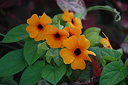 Sunny Susy Red Orange Black-Eyed Susan (Thunbergia alata 'Sunny Susy Red Orange') at Vandermeer Nursery